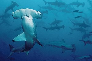 smooth-hammerhead-shark-school
