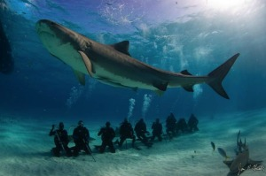 tiger-shark-ecotourism-120309-02